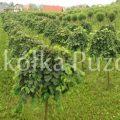 Ulmus (wiąz) 'Camperdownii' / Prunus (wiśnia) 'Umbraculifera' - uprawa w gruncie