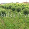 Prunus (wiśnia) 'Umbraculifera' - uprawa w gruncie