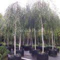 Betula pendula (brzoza brodawkowata) 'Youngii'