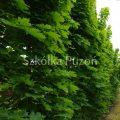 Acer platanoides (klon zwyczajny) 'Columnare'