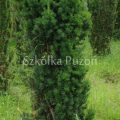 Taxus x media (cis pośredni) 'Hicksii'