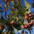 Sorbus aucuparia (jarząb pospolity) 'Pink Veil'