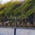 Carpinus betulus (grab pospolity) 'Fastigiata' - przygotowanie
