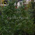 Picea omorika (świerk serbski)