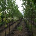 Sorbus (jarząb)