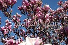 Magnolia-04.jpg