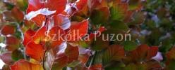 fagus-silvatica-rohanii503ce101e4ae9.jpg